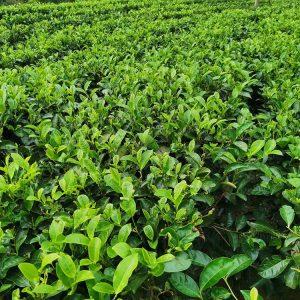 плантации чай на шри-ланке