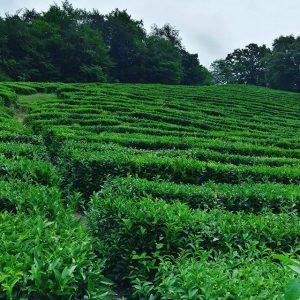 плантации чая мацеста