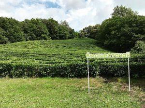 выращивание и сбор чая
