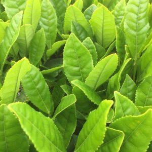растение сенча