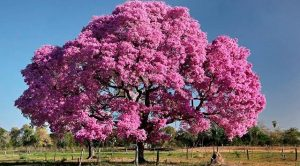 муравьиное дерево